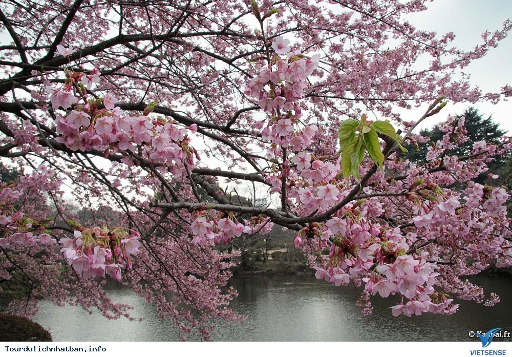 Top địa điểm thưởng thức hoa anh đào tại Nhật Bản lý tưởng - Ảnh 3