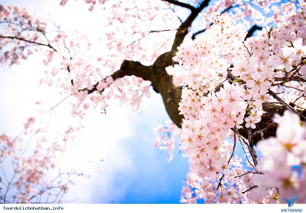 Top địa điểm thưởng thức hoa anh đào tại Nhật Bản lý tưởng - Ảnh 1