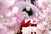 Hoa mận bừng nở đẹp không kém hoa Anh Đào ở Nhật Bản