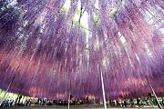 Rợp trời mùa hoa Fuji tháng 5 tại Nhật Bản
