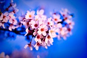 Top địa điểm thưởng thức hoa anh đào tại Nhật Bản lý tưởng