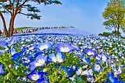 Trời đất Nhật Bản cùng hòa mình làm một ở cánh đồng hoa xanh