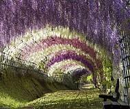Fuji Nhật Bản Đẹp Kinh Ngạc Với Vườn Hoa Tình Yêu