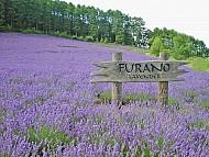 Hút hồn khách du lịch với cánh đồng hoa oải hương Nhật Bản
