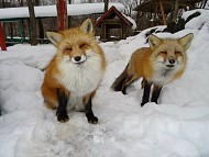 Ngôi làng cáo ở Nhật Bản