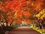 Tìm hiểu về mùa lá đỏ tại Nhật Bản