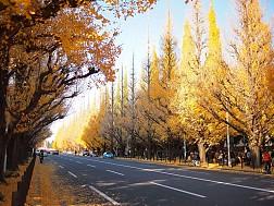Chiêm Ngưỡng Con Đường Rợp Bóng Bạch Quả Ở Nhật Bản