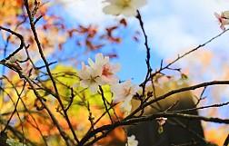 Ghé Thăm Ngôi Làng Ngắm Hoa Anh Đào Trái Mùa Duy Nhất Tại Nhật Bản
