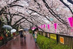 Hoa Anh Đào Nhật Bản Được Dự Báo Sẽ Nở Sớm Hơn Mọi Năm