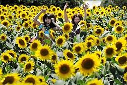 Lễ hội đặc sắc hoa hướng dương ở Nhật Bản