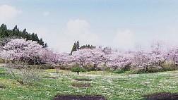 Nên thưởng thức hoa anh đào tại địa danh nào ở Nhật Bản?