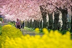 Nhuộm vàng Nhật Bản với mùa hoa cải