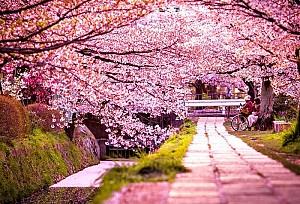 Du Lịch Nhật Bản Ngắm Hoa Anh Đào Hành Trình Osaka - Kobe - Kyoto - Hamamatsu - Mt.Fuji - Tokyo