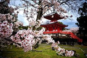 Du Xuân Nhật Bản Tokyo - Yokohama - Miura - Phú Sỹ - Nagoya - Kyoto - Osaka Ngắm Hoa Anh Đào Sớm 2019
