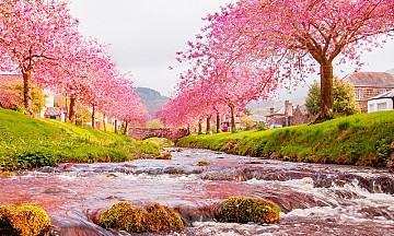 Đến Với Nơi Có hoa Anh Đào Nở Sớm Nhất Nhật Bản