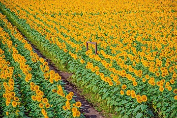 """Thích thú chiêm ngưỡng """"tấm thảm vàng"""" đồng hoa hướng dương tại Nhật"""
