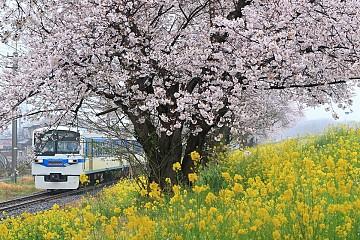 Trải Nghiệm Mới Ngắm Hoa Anh Đào Trên Những Chuyến Tàu Ở Tohoku