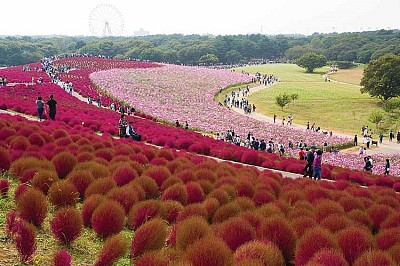 Chiêm Ngưỡng Đồi Cỏ Đổi Màu Khi Tới Nhật Bản Mùa Thu