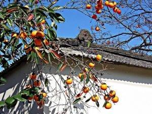 Những điều đặc biệt của cây Hồng trước cửa nhà người Nhật Bản