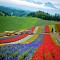 Đến với Hokkaido Nhật Bản ngắm hoa Oải Hương (Lavender)