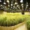 Ngỡ ngàng trăm điều độc đáo trồng lúa trong nhà Nhật Bản