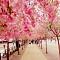 Thưởng Ngoạn Mùa Hoa Anh Đào Nhật Bản