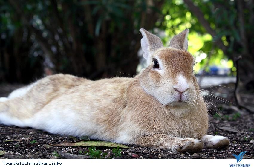 Thăm hòn đảo thỏ ở Nhật Bản - Ảnh 2