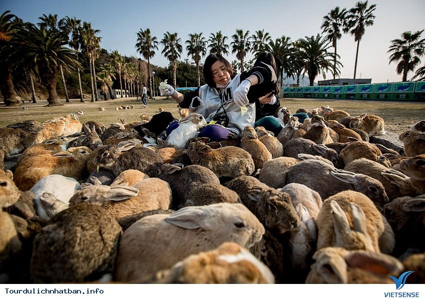 Thăm hòn đảo thỏ ở Nhật Bản - Ảnh 1