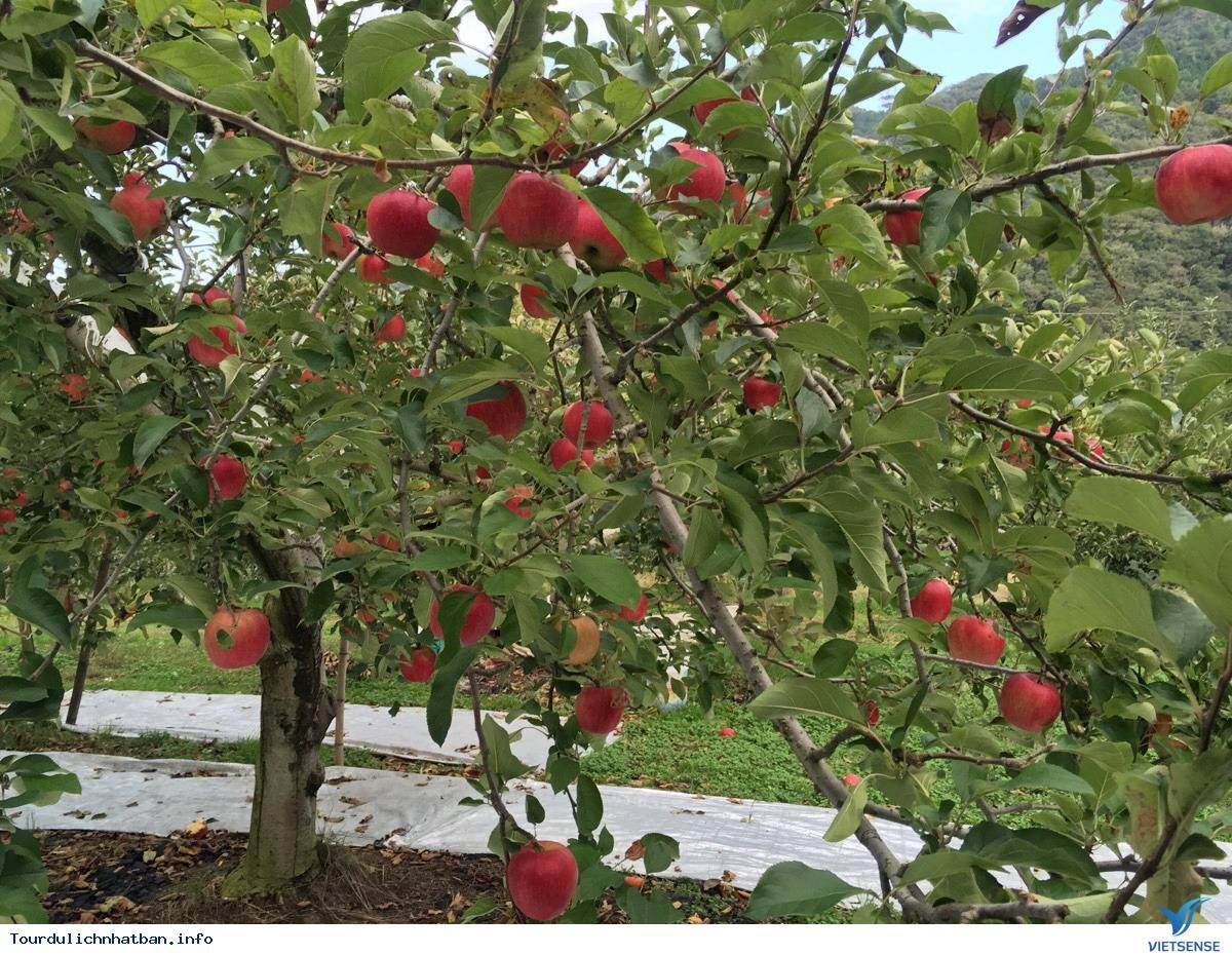 Đắm chìm trong vẻ đẹp cuốn hút của vườn táo Okukuji tại Nhật Bản