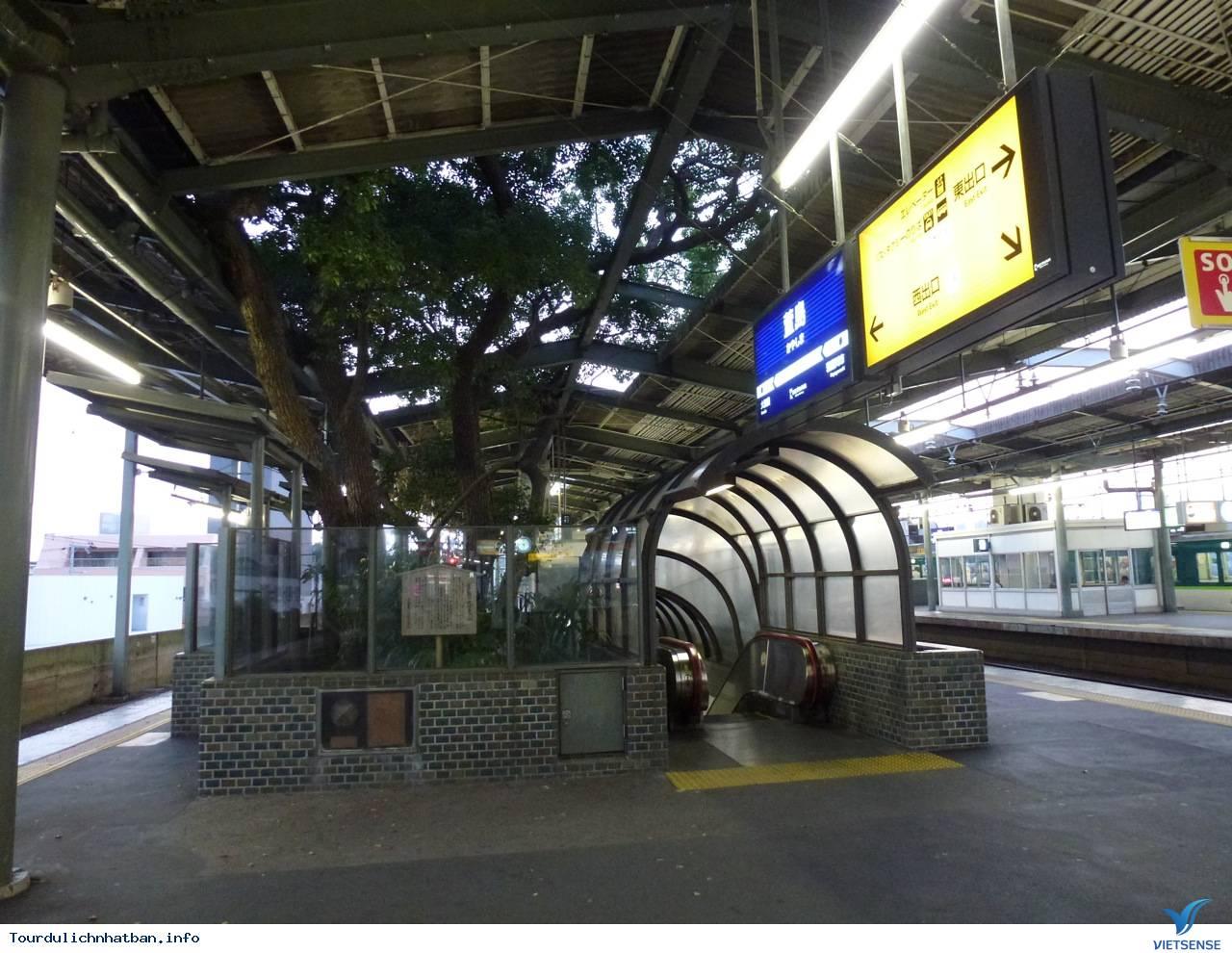 Huyền bí xung quanh cây đại thụ 700 năm tuổi ở Nhật Bản