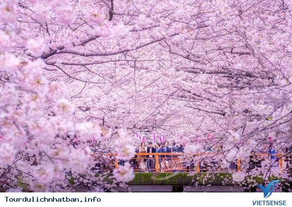 Nhật Bản sẽ đón mùa hoa anh đào sớm hơn năm ngoái - Ảnh 1