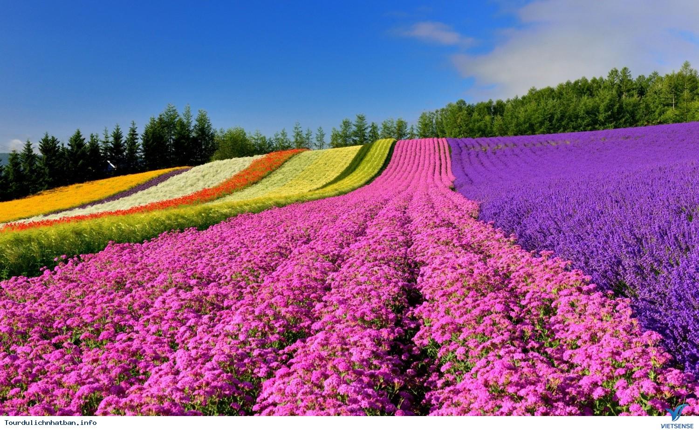 Những cánh đồng hoa bạt ngàn đa màu sắc ở Hokkaido Nhật Bản