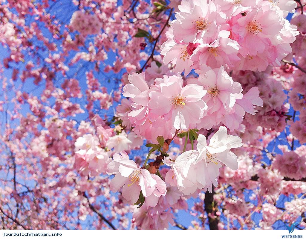Những Lưu ý Khi Ngắm Hoa Anh Đào Ở Nhật Bản - Ảnh 2