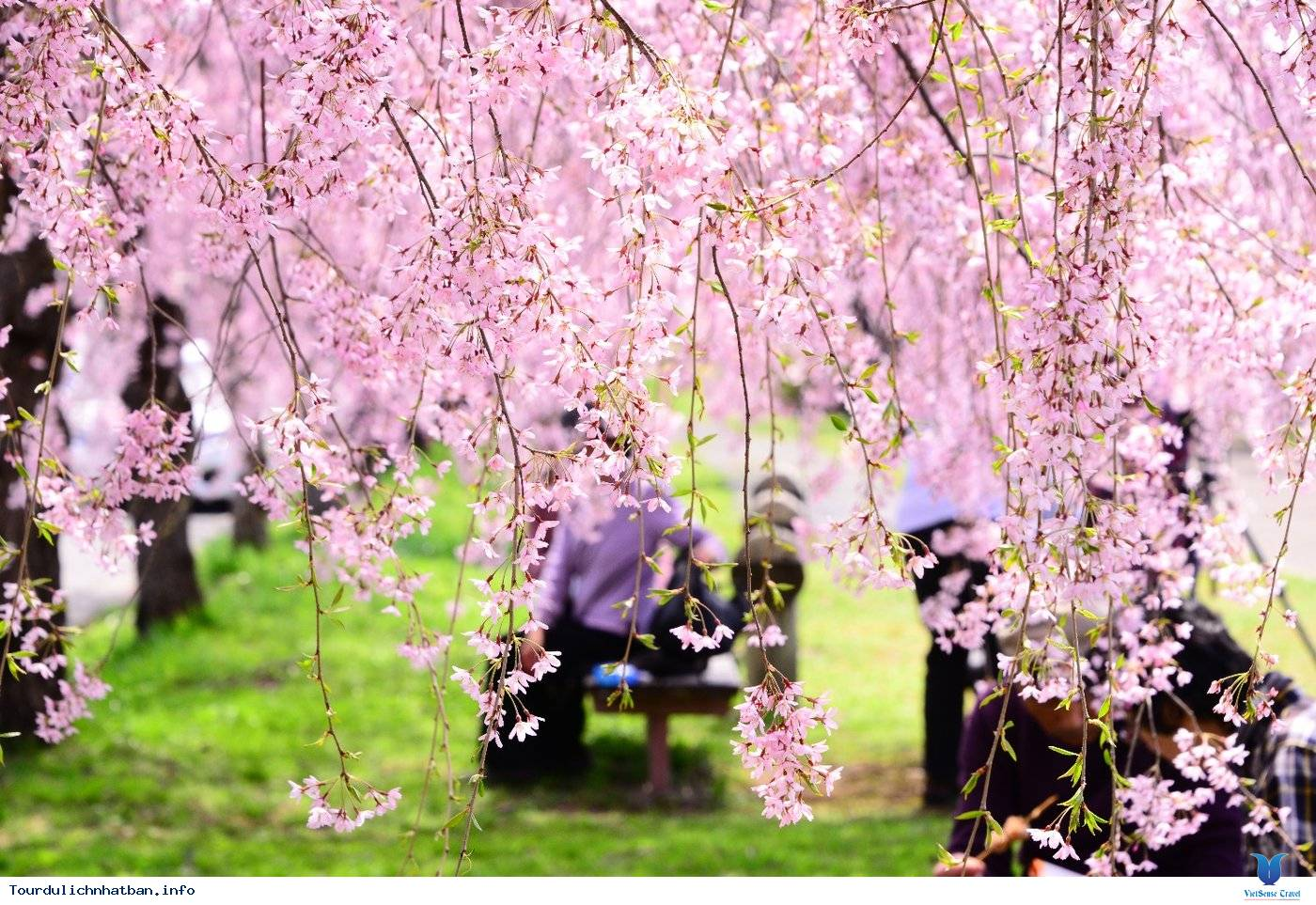 Những Lưu ý Khi Ngắm Hoa Anh Đào Ở Nhật Bản - Ảnh 4