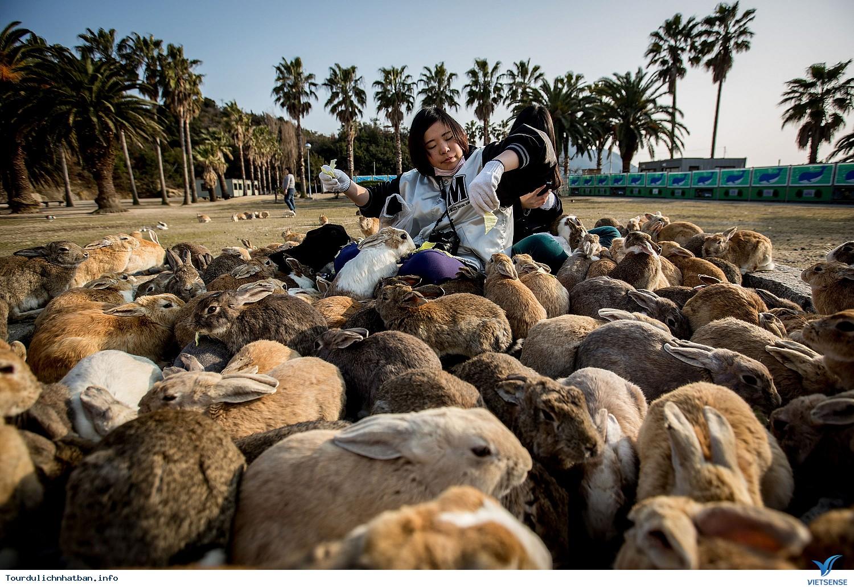 Thăm hòn đảo thỏ ở Nhật Bản