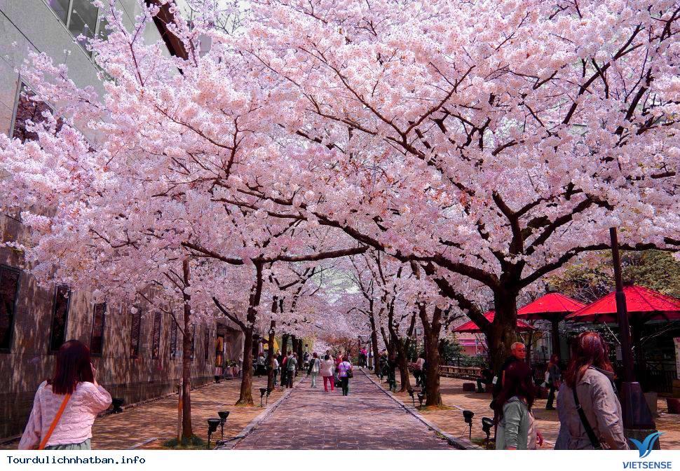 Top địa điểm thưởng thức hoa anh đào tại Nhật Bản lý tưởng - Ảnh 2